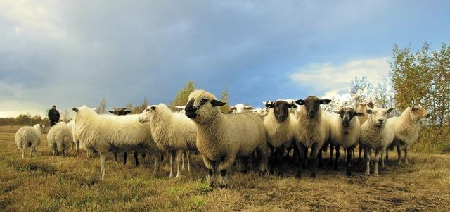 Pexels sheep pic
